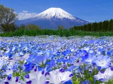 世界遺産 富士山とネモフィラ畑 写真 A4又は2L版 額付き