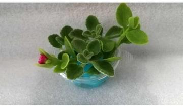水栽培セット アロマティカス カット苗