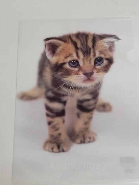 未使用 クリアファイル 猫/仔猫/にゃんこ スコティッシュホールド/スコ  < ペット/手芸/園芸の