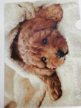 未使用 クリアファイル 瞳キラキラ/わんこ/仔犬 トイプードル/トイプー ¥105