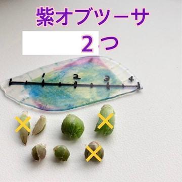 2個 紫オブツーサ ハオルシア カキ仔 カキ仔苗 オブツ-サ 多肉植物 多肉
