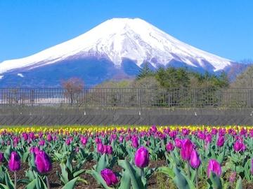 世界遺産 富士山とチューリップ畑2 写真 A4又は2L版 額付き