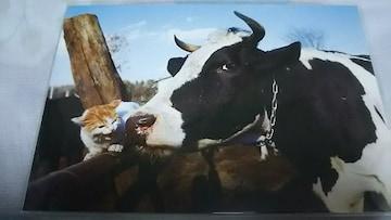 即決 猫&牛 ポストカード 岩合光昭