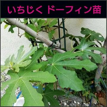 イチジク挿し木■苗 ドーフィン 1本■無花果