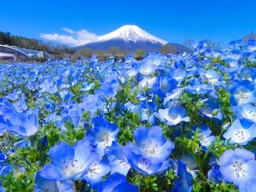 世界遺産 富士山とネモフィラ畑2 写真 A4又は2L版 額付き