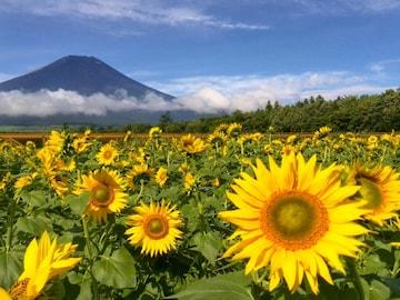 世界遺産 富士山 ひまわり畑 写真 A4又は2L版 額付き